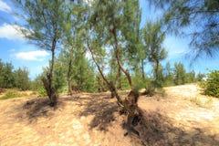 Árbol de pino del Casuarina Foto de archivo libre de regalías