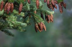 Árbol de pino del cono imagen de archivo