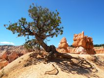 Árbol de pino del desierto Imagen de archivo