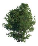 árbol de pino del ejemplo 3D aislado en blanco ilustración del vector