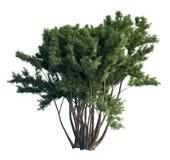 árbol de pino del ejemplo 3D aislado en blanco libre illustration