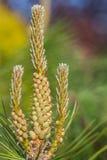 Árbol de pino del flor en el jardín Fotos de archivo libres de regalías