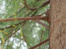 Árbol de pino del ` s del brunch Foto de archivo libre de regalías