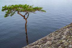 Árbol de pino doblado Imagen de archivo