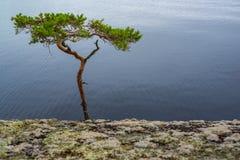 Árbol de pino doblado Imagen de archivo libre de regalías