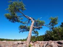 Árbol de pino en el campo de Boulder Fotos de archivo libres de regalías