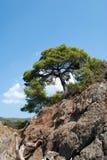 Árbol de pino en el cielo azul Imagenes de archivo