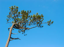 Árbol de pino en el fondo del cielo Foto de archivo