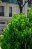 Árbol de pino en el jardín de la primavera foto de archivo