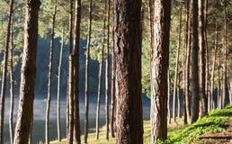 Árbol de pino en el parque Imágenes de archivo libres de regalías