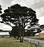 Árbol de pino en el patio del castillo de Aizuwakamatsu en Japón fotos de archivo libres de regalías