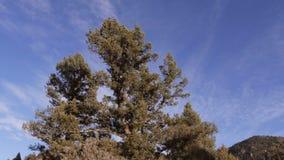 Árbol de pino en el resbalador granangular del cielo azul almacen de metraje de vídeo
