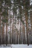 Árbol de pino en fondo hermoso del bosque del invierno Imagen de archivo libre de regalías