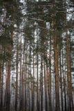 Árbol de pino en fondo hermoso del bosque del invierno Imagen de archivo