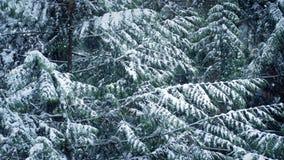 Árbol de pino en invierno con caer de la nieve metrajes