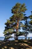 Árbol de pino en la costa Foto de archivo
