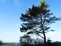 Árbol de pino en la costa de mar, Lituania Imágenes de archivo libres de regalías