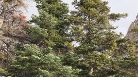 Árbol de pino en la montaña almacen de video