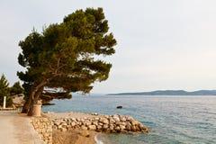 Árbol de pino en la playa rocosa en Brela Imagenes de archivo