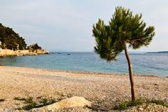 Árbol de pino en la playa rocosa en Brela Imagen de archivo