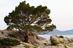 Árbol de pino en la playa rocosa en Brela Fotos de archivo libres de regalías