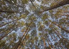 Árbol de pino en luz de la mañana, Foto de archivo libre de regalías
