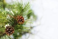 Árbol de pino en luz del sol Foto de archivo libre de regalías