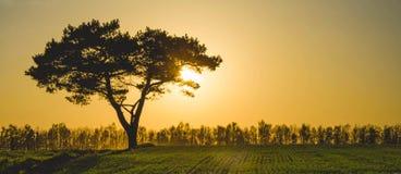 Árbol de pino en puesta del sol de oro Fotografía de archivo