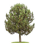 Árbol de pino en un fondo blanco Foto de archivo