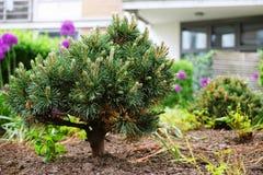 Árbol de pino en un jardín de la ciudad fotografía de archivo libre de regalías