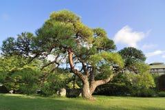 Árbol de pino escénico imágenes de archivo libres de regalías