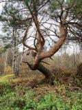 Árbol de pino feo Fotos de archivo libres de regalías