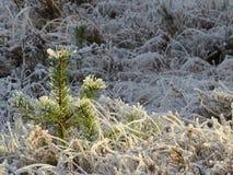 Árbol de pino fresco en nieve soleada Imagen de archivo libre de regalías