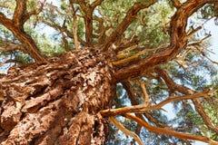 Árbol de pino gigante Fotos de archivo libres de regalías