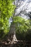 Árbol de pino gigante Imagen de archivo libre de regalías