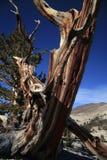 Árbol de pino Gnarled de Bristlecone Foto de archivo