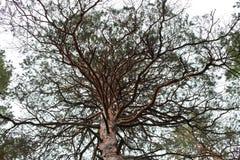 Árbol de pino grande Foto de archivo