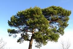 Árbol de pino grande con el cielo azul y las nubes Fotos de archivo