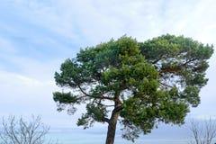 Árbol de pino grande con el cielo azul y las nubes Fotografía de archivo libre de regalías
