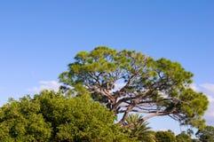 Árbol de pino grande de la Florida Foto de archivo
