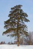 Árbol de pino grande solo en invierno Imágenes de archivo libres de regalías