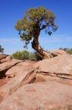 Árbol de pino impedido nudoso Imagenes de archivo