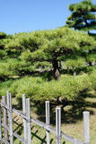 Árbol de pino japonés de los bonsais Fotos de archivo