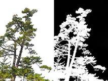 Árbol de pino japonés en la esquina aislada con el canal alfa fotografía de archivo