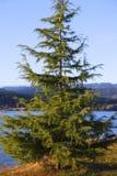 Árbol de pino joven. Imagen de archivo libre de regalías