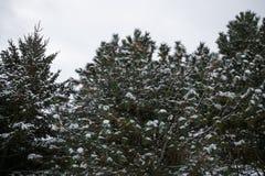 Árbol de pino de las cubiertas de nieve después de la tormenta del invierno imágenes de archivo libres de regalías