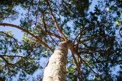Árbol de pino marítimo Foto de archivo