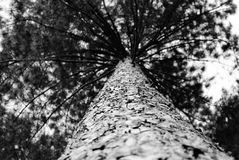 Árbol de pino monocromático Imagen de archivo libre de regalías