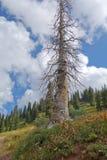 Árbol de pino muerto enrrollado en San Juan Mountains Fotografía de archivo