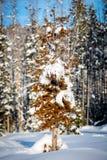Árbol de pino muerto needled del pino rojo en invierno con nieve en la tierra fotografía de archivo